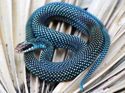 Northern Speckled Racer - Drymobius margaritiferus margaritiferus)