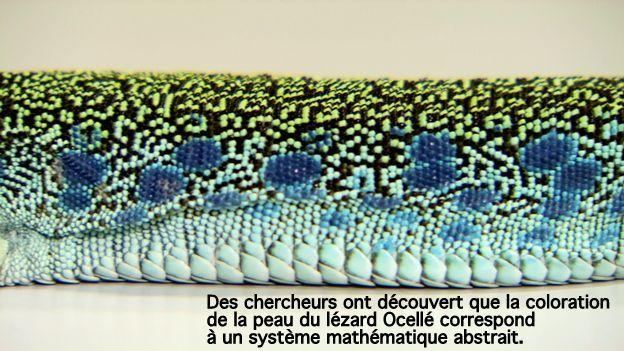 """Le lézard ocellé fait exception dans le règne animal, sa coloration s'organise à l'échelle de l'écaille plutôt que de la cellule. Des chercheurs lémaniques démontrent que la chose peut être expliquée par un système mathématique inventé en 1948 par John von Neumann. """"C'est très surprenant de retrouver sur la peau d'un animal un système de calculs qui a été utilisé pour développer des ordinateurs"""", a indiqué le chercheur Michel Milinkovitch à la RTS. https://www.rts.ch"""