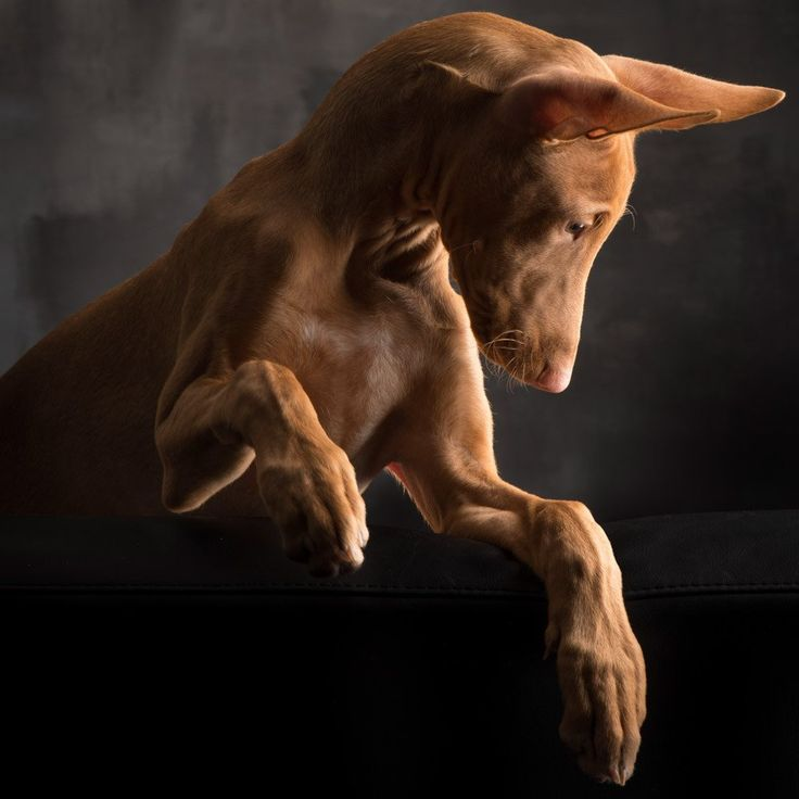 Pharaoh Hound Photographer: Paul Croes