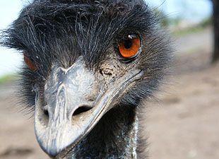 Emù olio: La regina degli oli per la cura della pelle | Per Dimagrire