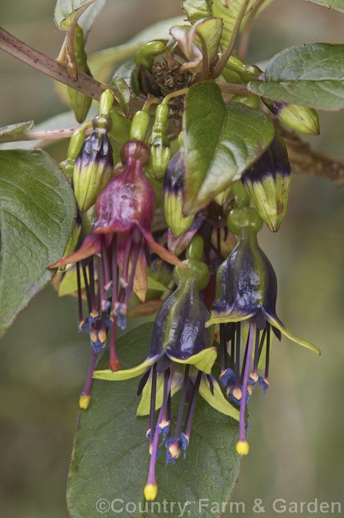 Kotukutuku (Fuchsia excorticata), a large shrub- to tree-sized fuchsia found naturally throughout New Zealand. The flowers often sprout directly from relatively old branches.
