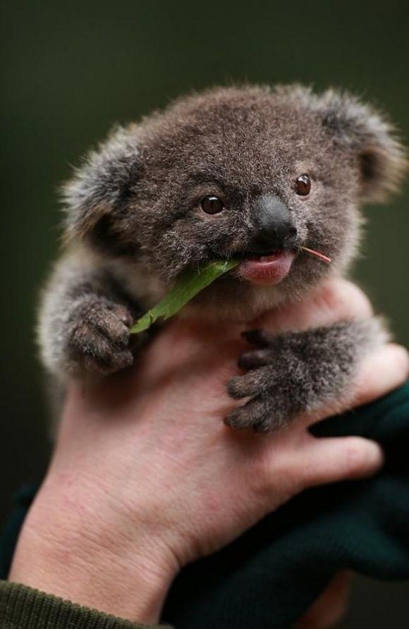 adorable koala baby eating eucalyptus leaf
