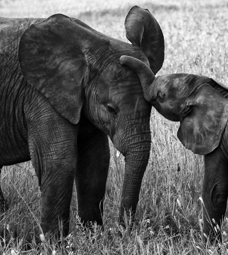 just beautiful...: Baby Elephants, Safari Icons, Elephants Obsession, Elephants Parade, Beautiful, Animal Friends, Big Sisters, Adorable Animal