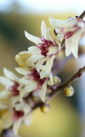 Wie der Name verrät, hat die Chinesische Winterblüte ihren großen Auftritt im Winter. Zwischen November und März verbreiten die gelben Blüten des Zierstrauchs einen sehr angenehmen, vanilleartigen Geruch.