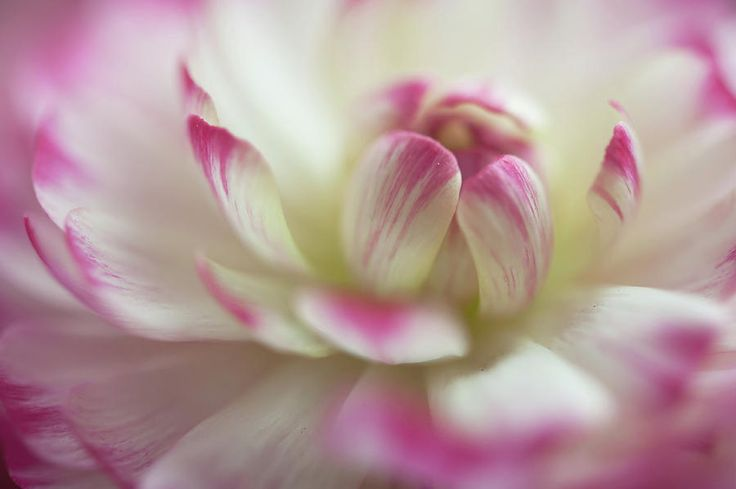 The World Of Flower. Ranunculus Delight 5 Photograph by Jenny Rainbow