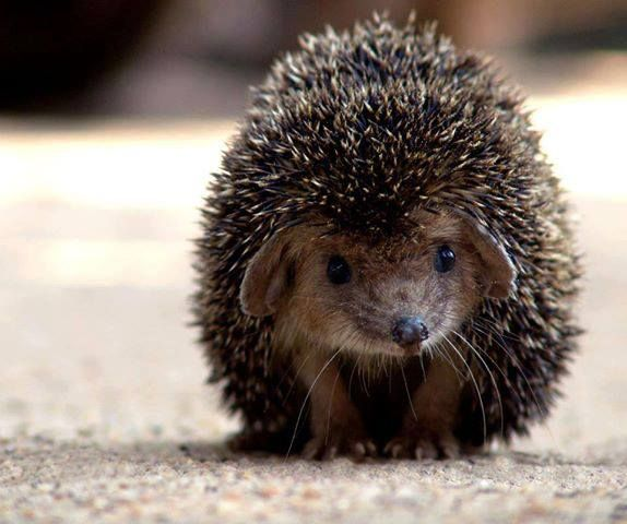 The Long-eared hedgehog (Hemiechinus auritus) is a species of hedgehog native to Central Asian countries and some countries of the Middle East. The long-eared hedgehog lives in burrows that it either makes or finds and is distinguished by its long ears. It is considered one of the smallest middle eastern hedgehogs. This Hedgehog is insectivorous but may also feed on small vertebrates and plants. In captivity they may live as long as 7.6 years.