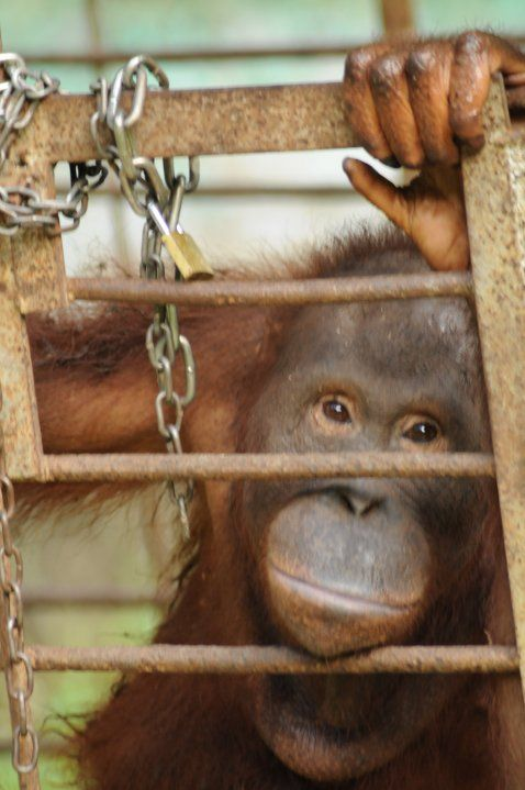 """orangutans endangered dues to palm oil The habitat destruction and conversion of forest associated with palm oil is """"currently the greatest threat"""" to the future of wild orangutans, whose survival is entirely dependent on the."""