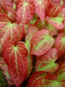 Discover Top Shade Perennials - this one is called Epimedium. http://www.landscape-design-advice.com/shade-perennials.html