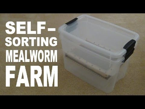 How to build a mealworm farm! - YouTube