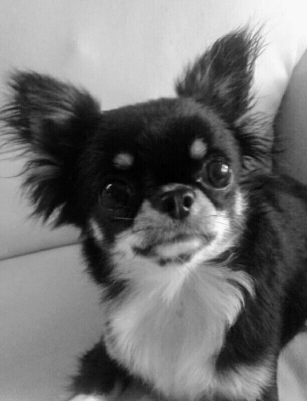 Black And White Baby With Images Baby Chihuahua Cute