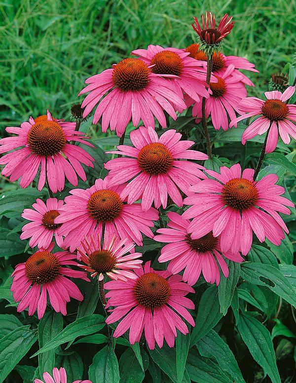Kaunopunahattu. Korkeus: 80-100 cm. Kukkii heinä-elokuu. Kasvupaikka aurinko-puolivarjo, vettä läpäisevä, multava maa.
