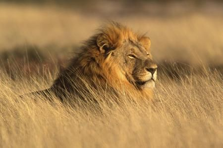 Think You Know Where Lions Live? Let's Explore Their Habitat
