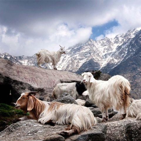 The world's finest and most #precious #Agnona #cashmere comes from the plateaus of Inner Mongolia. In spring, shepherds gather this down by hand with special long-tooth combs.  Each animal supplies approximately 100gr of fiber effectively usable for spinning yarn.