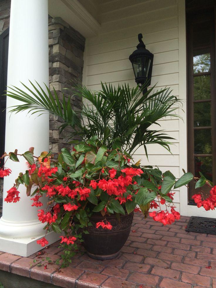 Red dragon wing begonias