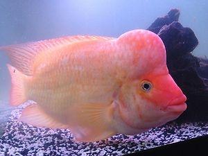 191 best cichlids images on pinterest fish aquariums for Red devil fish