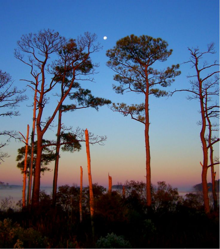 tall Loblolly pines in the refuge 26