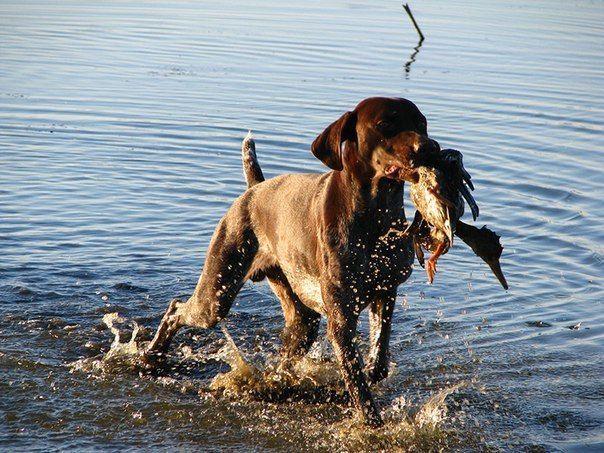 Нюансы тренировки охотничьих собак по утке  1. Если в тренировке участвуют несколько собак, все, кроме одной, должны быть отведены на достаточное расстояние. Иначе качественной тренировки не получится. Более того, собака может начать жевать и мять птицу, от чего отучить ее в будущем будет не просто.   2. Перед началом тренировки хорошо бы выяснить у владельцев отношение к птице (или к любой другой дичи, если встреча с птицей будет впервые) участвующих в тренировке собак. Некоторые берут утку…