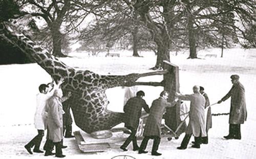Getting the giraffe into Wollaton Hall