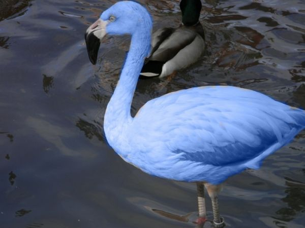 Blue flamingos have been located in the Galapagos Islands ...