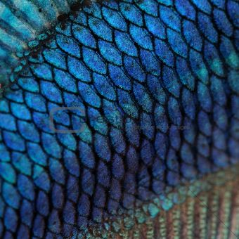 Close-up on a fish skin - blue Siamese fighting fish - Betta Spl