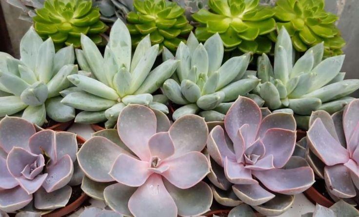 VIDEO: Cum să faci un aranjament cu plante suculente