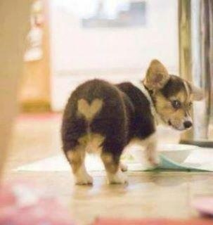 I love that little bottom!!: Love You, So Cute, Pet, Corgi Puppies, Adorable, Things, Funny Animal, Heart Butts, Little Dogs