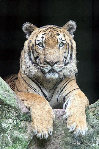 Mãe, Pai.... O tigre da Esso!!   by Nechar