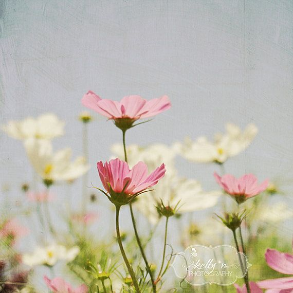 Flower Photography- Cosmo Flowers Photo, Pink Blue White, Pastel Home Decor, Floral Wall Art, Flower Field Photography, Garden Wall Art