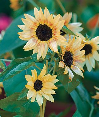 Bashful dwarf sunflower (Helianthus annus) This variety grows up to 36 inches. We are planting 10 varieties of dwarf sunflowers as a temporary filler for the flower bed, as we can't plant bulbs until October or November in our hot desert climate.