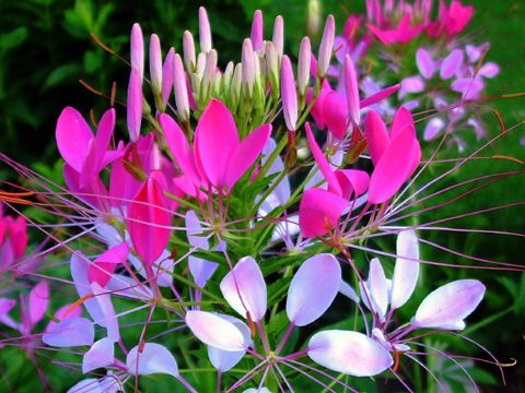 Cléome (Cleome spinosa)