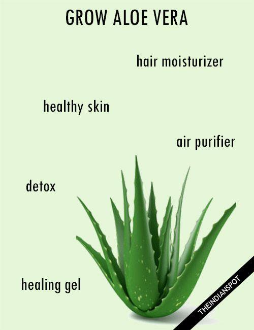 Best 25 aloe vera supplement ideas on pinterest aloe - Aloe vera plante utilisation ...