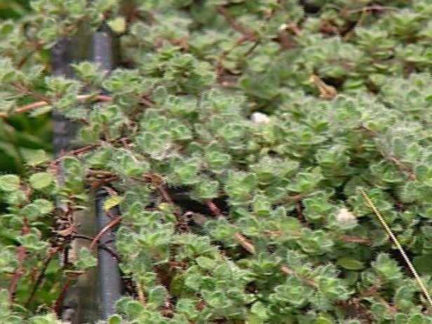 Best 20 Dwarf shrubs ideas on Pinterest Dwarf evergreen shrubs