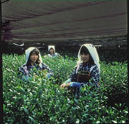 Harvesting Matcha Tea in Nishio, Japan