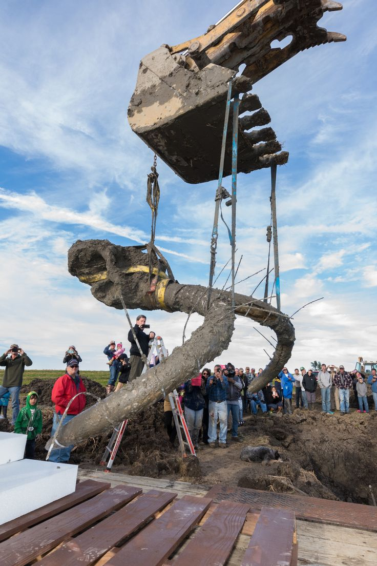 Mammoth skull and tusks being hoisted from the excavation pit   Photo