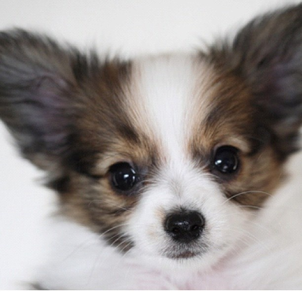What a cutie!  Papillon