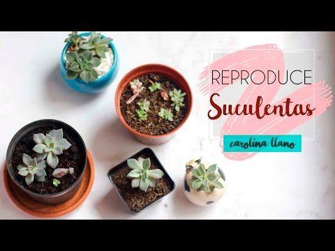 (13) ¿Cómo reproducir suculentas? | Carolina Llano - YouTube