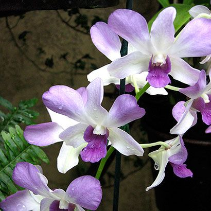 The orchid fits perfectly in any home décor. The incredible number of varieties, colors and sizes make it a favorite of so many. Our orchid collection has varieties to suit both the beginner orchid gardener and the orchid expert.