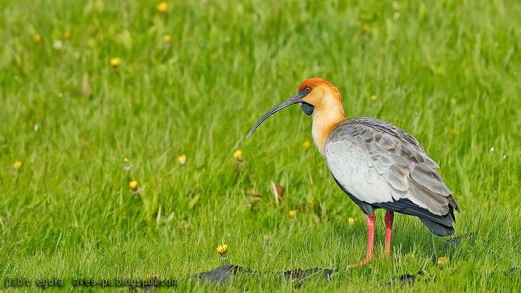 mis fotos de aves: Bandurria austral [Theristicus melanopis] Black-fa...