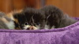Too Cute: Persian Kitten Searches for a Sleeping Spot : Video : Animal Planet