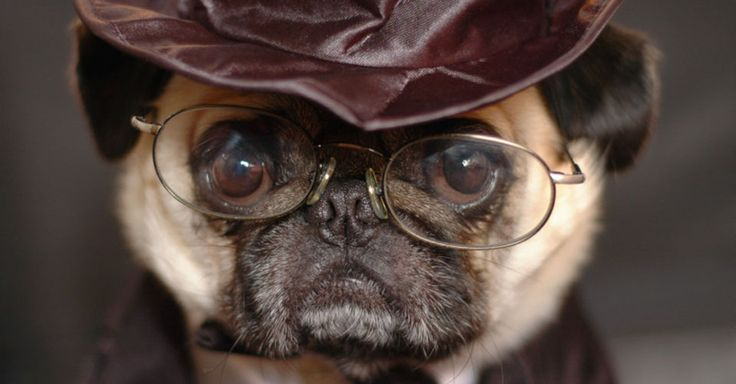 Pugs are lovable and loyal. Here are 16 true facts about one of the most popular dog breeds on the planet.