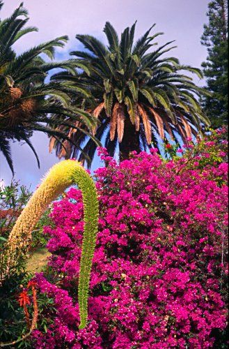 Pictures from Madeira. palm trees and flowers in Canico de Baixo329 x 500 | 76.1KB | www.travelphoto.net