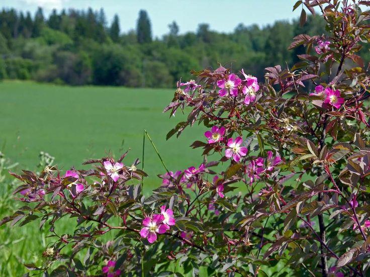 rosa glauca daggros -Rosorna är storblommiga, taggiga buskar. Deras blad är parbladiga med uddblad. Frukten är ett nypon inuti vilket nötter utvecklas.
