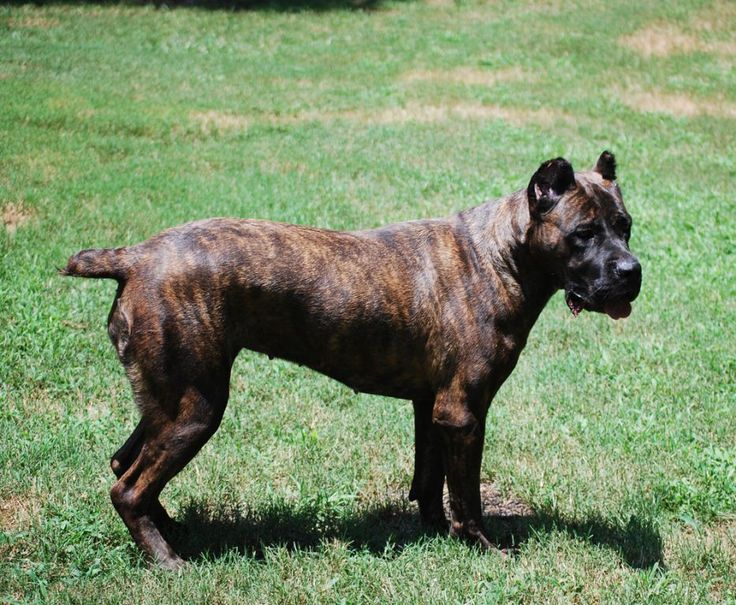 Visit this site http://bluekingscanecorso.com/ for more information on Cane Corso Breeders. Many of us want to find that Cane Corso Breeders that will always be there when we need their help or to provide us with puppy properly. They provide the best Cane Corso dog for the home owners.