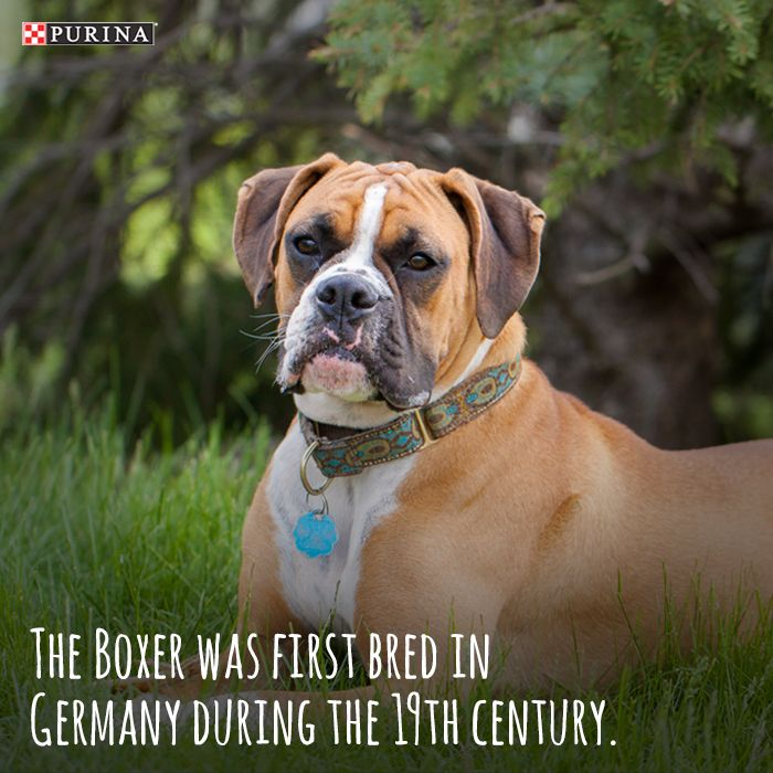 Boxers are easily recognized by their square muzzle and are known for their protective nature. Learn more about this dog breed at Purina.com.