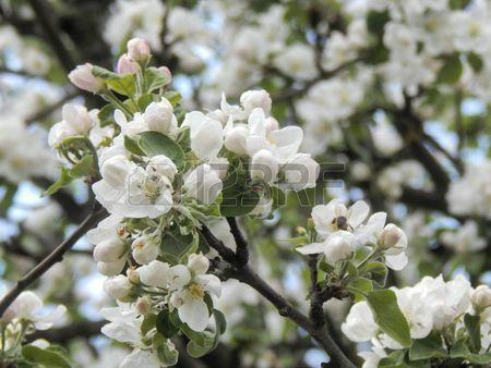 Весеннее цветение яблони ветви деревьев