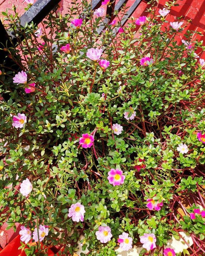 Moss Rose Portulaca Grandiflora Home Garden Jaffna Sri Lanka In 2021 Portulaca Grandiflora Home And Garden Rose