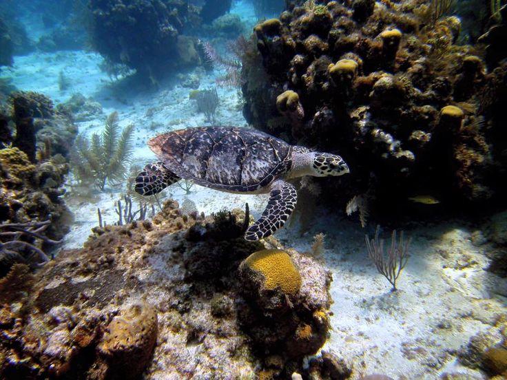 Green sea turtle in Roatan. Using Sealife DC1200.