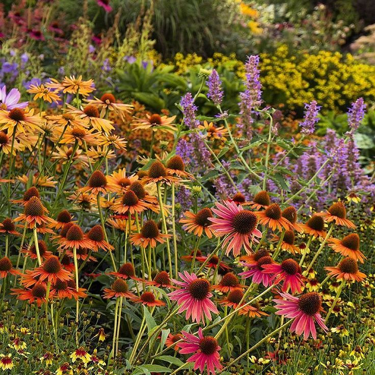 Get Dirty In Your Garden Today And Every Day Shown Blue Boa Hummingbird Mint Zones Tiki Torch Coneflower
