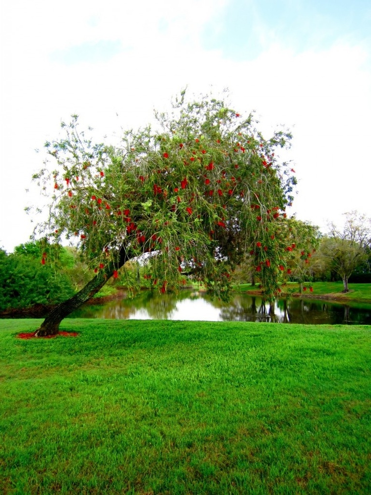 Red Tree Blooms: Red Trees, Trees Bloom