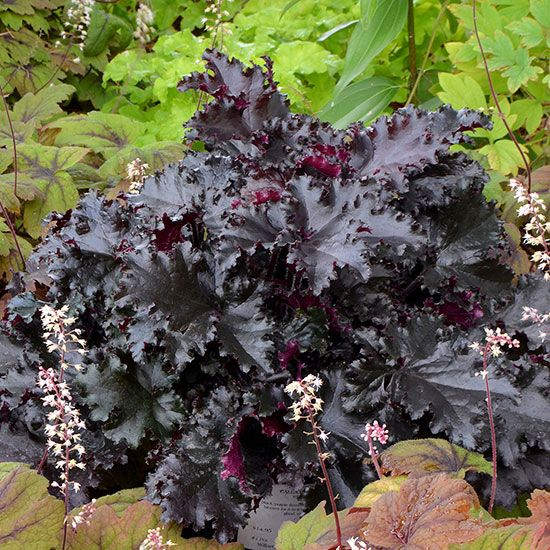 Add a touch of elegance to your garden with 'Black Taffeta' coralbells. This fashionable new shade dweller has silky, ruffled black foliage that won't fade over the summer. It also has pretty pink flowers in the spring. 'Black Taffeta' is a vigorous variety that quickly forms a bold mound of color. Name: Heuchera 'Black Taffeta' Growing Conditions: Shade, Partial shade Size: 10–12 inches tall, 18–21 inches wide Zones: 4–9 Source: Terra Nova